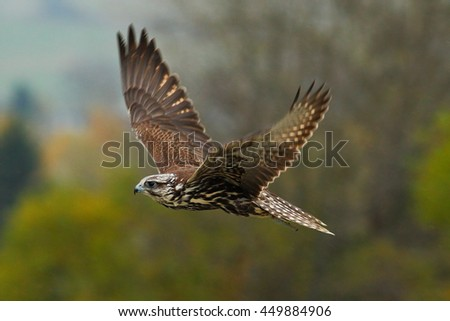 Bird in fly. Flying falcon with forest in the background. Lanner Falcon, bird of prey, animal in the nature habitat, Germany. Bird in the fligt with open wing.  - stock photo