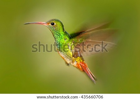 Bird in fly. Hummingbird Rufous-tailed Hummingbird. Hummingbird with clear green background in Ecuador. Hummingbird in the nature habitat. Bird flying next to beautiful yellow flower in tropic forest. - stock photo