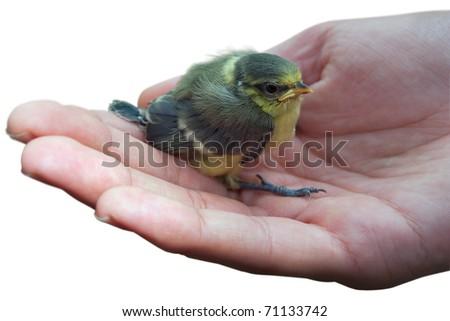 Bird in hand blue tit chick (Parus caeruleus) isolated on white background - stock photo