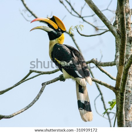 Bird in nature, Great Hornbill perching on a branch - stock photo