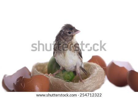 bird in nest with egg shells isolated - stock photo