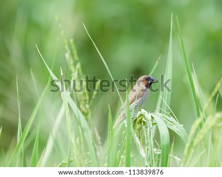 bird in paddy - stock photo