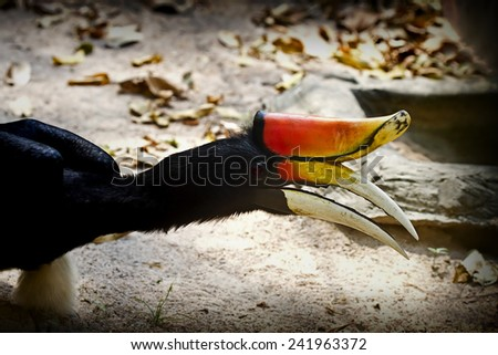 Bird in the cage,Rhinoceros hornbill (Buceros rhinoceros)