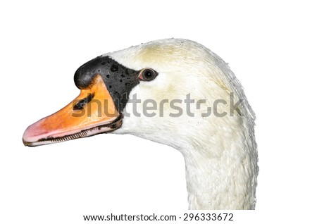 Bird isolated. The look of a beautiful white swan. - stock photo