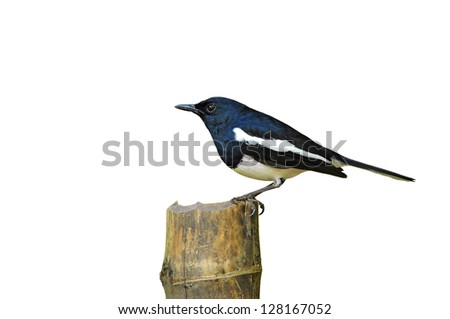 Bird Magpie isolated against white background. - stock photo