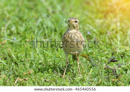 Bird Meadow Pipit