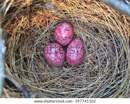 bird nest on tree branch with three pink eggs inside