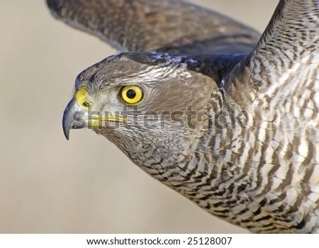 Bird of falconry - stock photo