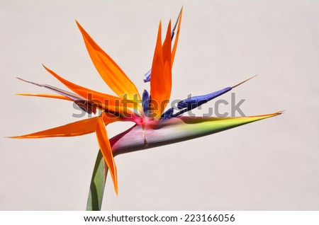 Bird of paradise flower against white wall background. copy space - stock photo
