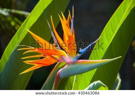 Bird of Paradise flower. Guatemala - stock photo