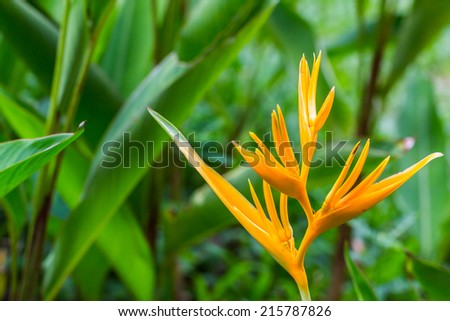 bird of paradise flower, heliconia flower with green leaf - stock photo