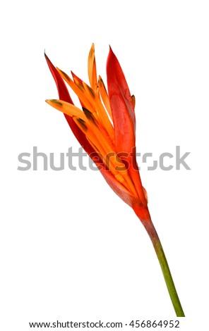 Bird of paradise flower isolate on white. - stock photo
