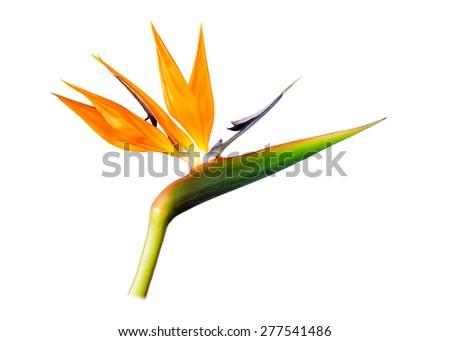 Bird Of Paradise flower isolated on white. - stock photo