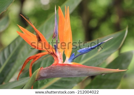 Bird of Paradise Flower,orange and purple Bird of Paradise Flower blooming in the garden   - stock photo
