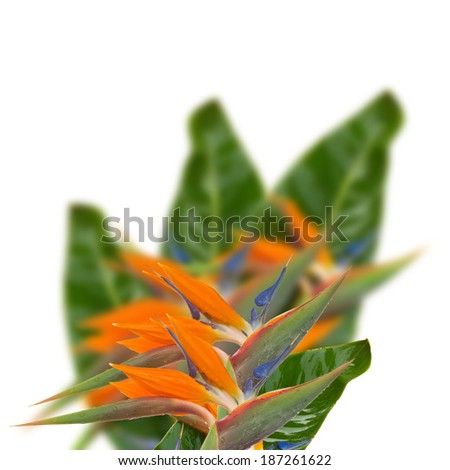 Bird of paradise flower (Strelitzia) flowers with leaves isolated on white bacground - stock photo
