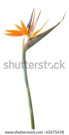 Bird of paradise flower (Strelitzia) isolated on white - stock photo