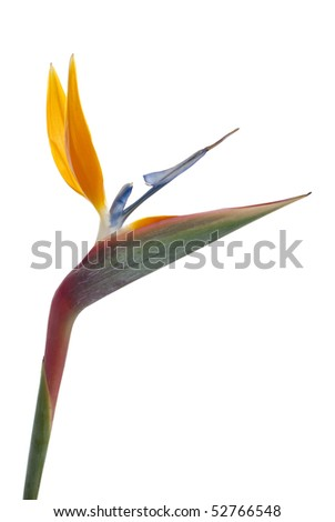 Bird of paradise flower (Strelitzia reginae) isolated on white background