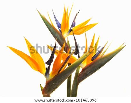 Bird of Paradise flowers isolated on a white background. - stock photo