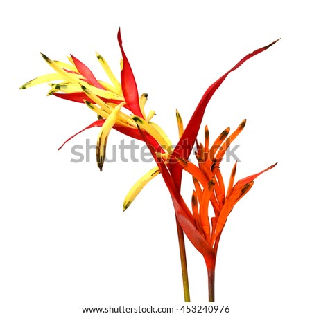 Bird of Paradise Flowers Isolated on a White Background, Tropical Flower - stock photo
