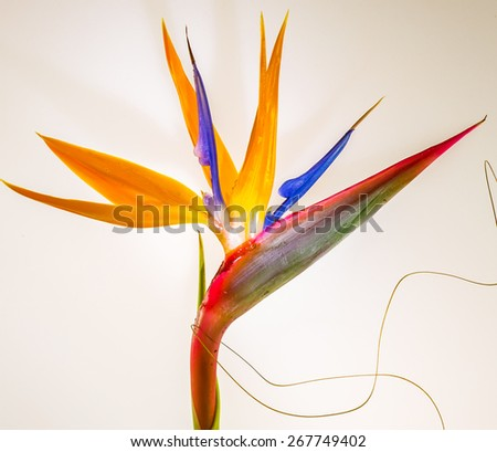 Bird of Paradise in full bloom - stock photo