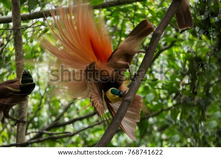 Bird of Paradise is mating