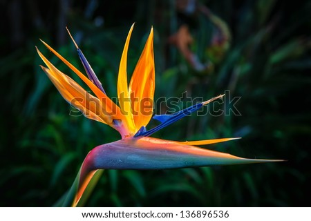 Bird of Paradise Plant in Full Seasonal Bloom - stock photo