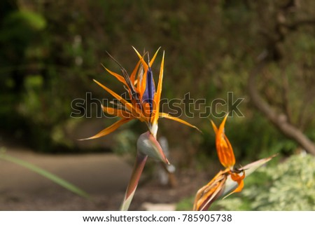 Bird of Paradise (Strelitzia Reginae) Look at Flower in Bloom
