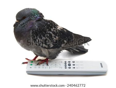 Bird of pigeon and TV remote control unit isolated on white background  - stock photo