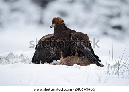 Bird of prey Golden Eagle with kill hare in winter with snow - stock photo
