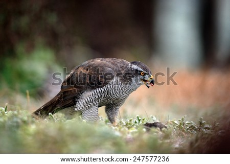 Bird of Prey Goshawk, Accipiter gentilis, feeding kill dark squirrel in the forest - stock photo