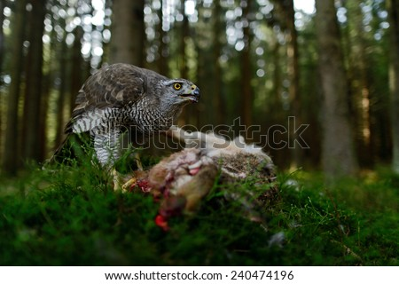 Bird of Prey Goshawk feeding kill hare with blood in forest - photo with wide lens for habitat - stock photo