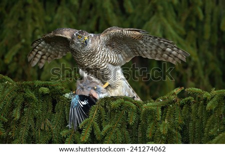 Bird of prey Goshawk kill European Jay on the green spruce tree - stock photo
