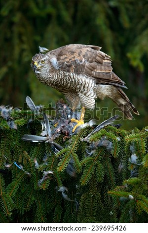 Bird of prey Goshawk kill European Jay on the green spurce tree  - stock photo