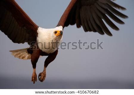 Bird of prey in in close range, African fish eagle, Haliaeetus vocifer flying directly at camera with outstretched wings in evening light against abstract background. KwaZulu Natal, South Africa. - stock photo