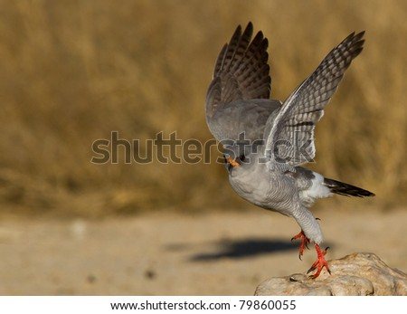bird of prey kalahari - stock photo