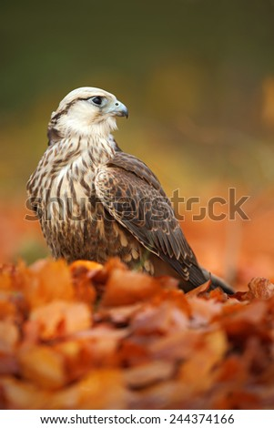 Bird of prey Lanner Falcon with with orange leaves branch in autumn forest  - stock photo