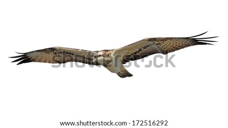 Bird of Prey (Osprey) in flight scanning for prey. Isolated on white. - stock photo