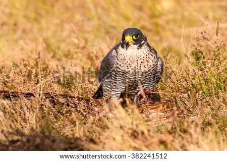 Bird of prey, Peregrine Falcon, (Falco peregrinus), sitting on prey with autumn meadow, Czech republic - stock photo