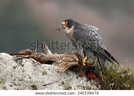 Bird of prey Peregrine Falcon (Falco peregrinus) with kill Common Pheasant on stone - stock photo