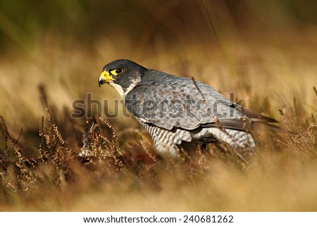 Bird of prey Peregrine Falcon in heather meadow - stock photo