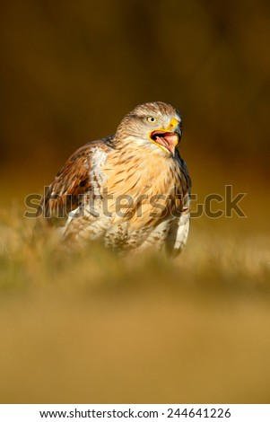 Bird of prey  Red-tailed Hawk, Buteo jamaicensis, portrait with open bill with blurred habitat in background - stock photo