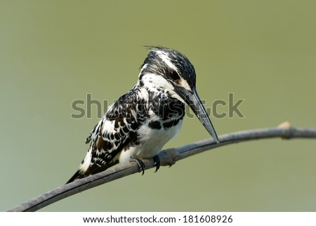 Bird on a branch (Pied Kingfisher - Ceryle rudis)  in nature, in Thailand - stock photo