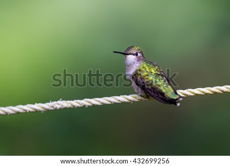 Bird on a wire. The Ruby Throated Humming bird in a boreal forest in Northern Quebec after its long migration north. Very small hummingbirds with a lot of fight to do the long trip from the south. - stock photo