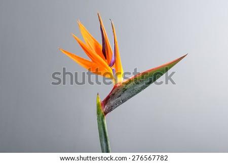bird paradise flower isolated on white - stock photo