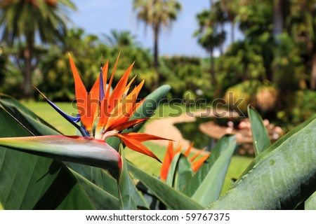 Bird Paradise flower Strelitzia. Tenerife Canary Islands. Tropical garden africa south. Tenerife tropical garden. Canary islands bird paradise flower Strelitzia. Strelitzia flower Tenerife island  - stock photo