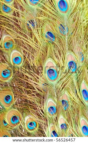Bird peacock feather close up - stock photo