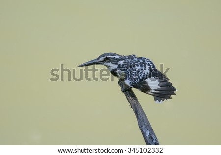 bird,pied king fisher in nature