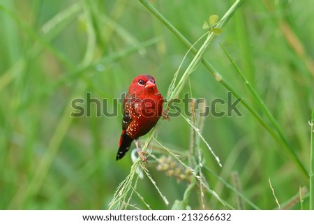 Bird,Red Avadavat : Amandava amandava  - stock photo