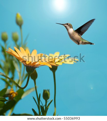 Bird, Ruby throated hummingbird, female,  in motion approaching some African Daisies in the sunshine. - stock photo