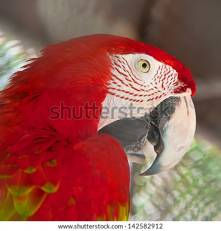 Bird's head red macaw